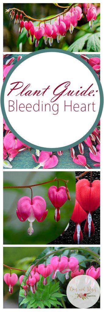 Plant Guide: Bleeding Heart - Bees and Roses  Bleeding Heart, How to Grow Bleeding Heart, Gardening, Flower Gardening, Flower Gardening TIps and Tricks, Popular Pin #BleedingHeart #Gardening