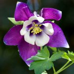 Plant Guide: Columbine| Growing Columbine, Gardening, Gardening TIps and tricks, How to Grow Columbine, Gardening Hacks, Gardening Tips and Tricks, Popular Pin #Columbine #Gardening