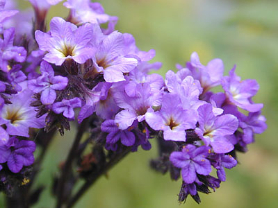 Growing Heliotrope, Heliotrope, Heliotrope Flower, Flowers, Flower Garden, Flower Gardening, Flower Gardening for Beginners, Gardening for Beginners, Garden Ideas, Gardening Tips