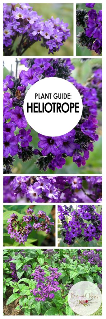 Growing Heliotrope, Heliotrope, Heliotrope Flower, Flowers, Flower Garden, Flower Gardening, Flower Gardening for Beginners, Gardening for Beginners, Garden Ideas, Gardening Tips