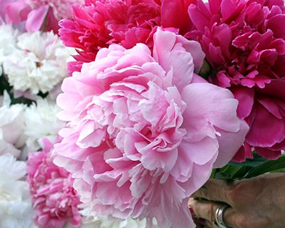 Plant Guide: Peonies| Growing Peonies, How to Grow Peonies, Gardening, Gardening Hacks, Plant Care Tips and Tricks, Flower Garden #Peonies #Gardening