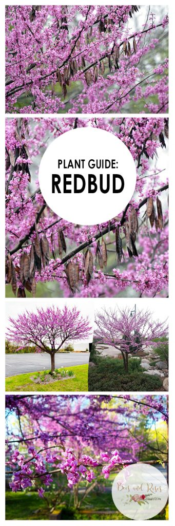 Plant Guide: Redbud Tree - Bees and Roses| Redbud Tree, Gardening, Gardening tips and Tricks, Gardening Hacks, Growing Redbud Trees, Popular Pin #Gardening #RedbudTrees