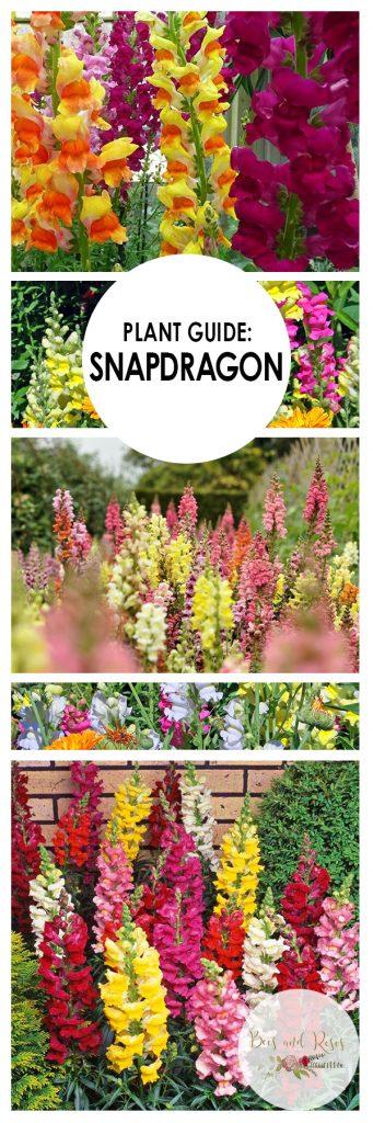 Plant Guide: Snapdragon  Snapdragon, Snapdragon Gardening, Growing Snapdragon, How to Grow Snapdragon, Gardening, Gardening Hacks, DIY Gardening, #Gardening #Snapdragon
