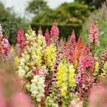 Plant Guide: Snapdragon| Snapdragon, Snapdragon Gardening, Growing Snapdragon, How to Grow Snapdragon, Gardening, Gardening Hacks, DIY Gardening, #Gardening #Snapdragon