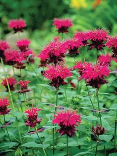 Growing Bergamot, Bergamot, Gardening, Garden Ideas, Gardening Ideas, Flower Garden, Flower Gardening Ideas, Flower Garden Ideas In front Of House,