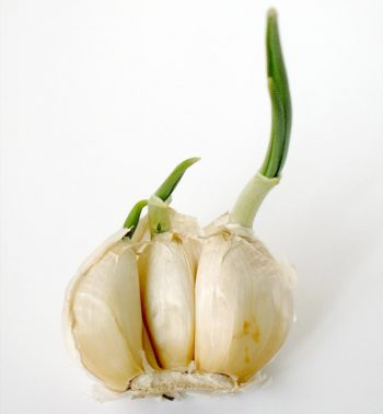 Garlic, Propagating Garlic, Gardening, Garden Ideas, Gardening Ideas, Herb Garden, Herb Gardening, Gardening for Beginners