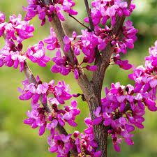 Plant Guide: Redbud Tree - Bees and Roses  Redbud Tree, Gardening, Gardening tips and Tricks, Gardening Hacks, Growing Redbud Trees, Popular Pin #Gardening #RedbudTrees