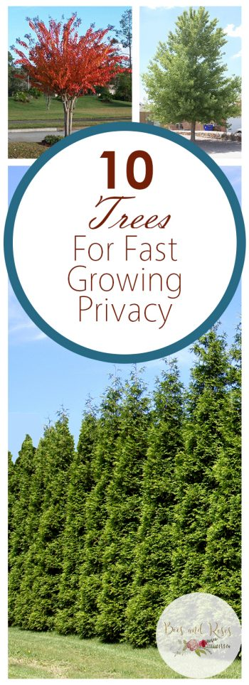 10 Trees For Fast Growing Privacy - Bees and Roses| Shade Trees, Fast Growing Shade Trees, Growing Shade Trees, How to Grow Shade Trees, Gardening, Growing Trees, Tree Care, Backyard Privacy, Backyard Privacy Hacks, Landscaping, Landscaping Tips, Popular Pin #ShadeTrees #Landscaping #Gardening