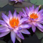 Growing Water Lily, Water Lily, Water Lily, Water Lily Plant Care, Gardening, Gardening Tips, Gardening Ideas, Garden Ideas