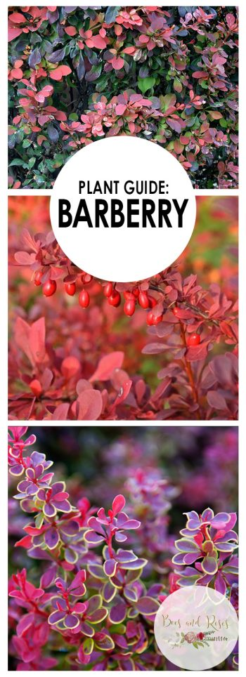 Growing Barberry, Barberry, Gardening, Gardening Tips, Gardening for Beginners, Garden Ideas, Gardening Ideas, Barberry Shrub