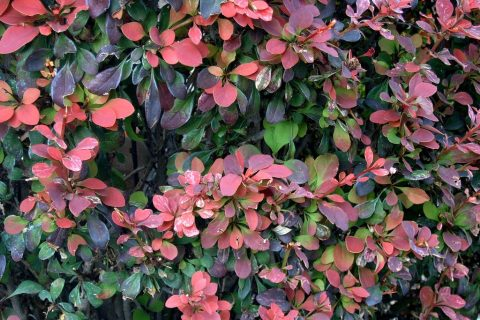Plant Guide: Barberry| Barberry, Barberry Plant, Caring for Barberry, Gardening, Gardening Hacks, Gardening 101, Barberry, Barberry Care, How to Plant Barberry, Popular Pin #Gardening #Barberry #PlantGuide