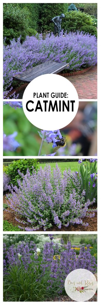 Catmint, Growing Catmint, Gardening, Garden Ideas, Gardening for Beginners, Gardening Ideas, Garden, Flowers