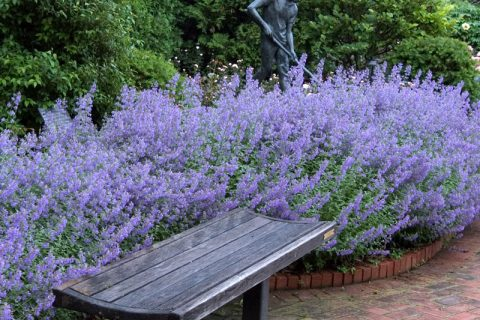 Plant Guide: Catmint| Growing, Growing Catming, How to Grow Catmint, Gardening, Gardening Hacks, Plant Guide, How to Grow Catmint, Popular Pin #Gardening #Catmint