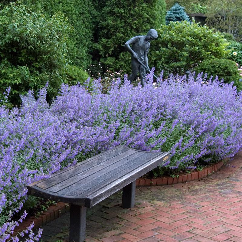 Catmint, Growing Catmint, Gardening, Garden Ideas, Gardening for Beginners, Gardening Ideas, Garden, Flowers