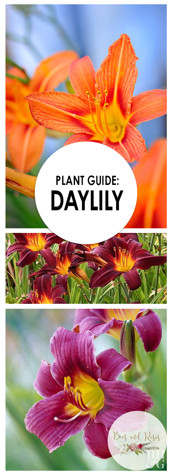 Plant Guide: Daylily| Daylily, How to Grow Daylily, Caring for Daylily, How to Care for Daylily Plants, Gardening, Gardening Hacks, DIY Gardening, Daylily Care, Gardening Care, Garden Care Hacks, Perennial Plants, Perennial Plant Care, Plant Care DIYs #daylily #GrowingDayLily #GardenCare #Gardening