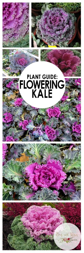 Plant Guide: Flowering Kale| Flowering Kale, Growing Kale, How to Garden Kale, How to Grow Kale, Gardening, Gardening Hacks, Outdoor Gardening, Vegetable Gardening #Kale #VegetableGardening