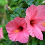 Plant Guide: Hibiscus - Bees and Roses| Hibiscus, How to Grow Hibiscus, Growing Hibiscus, Gardening, Gardening 101, Plant Care, Plant Care Hacks, DIY Plant Care, Plant Care 101, Gardening, Gardening Tips and Tricks, Grow Hibiscus Anywhere, Popular Pin #Hibiscus #Gardening #GrowingHibiscus #HibiscusGardening