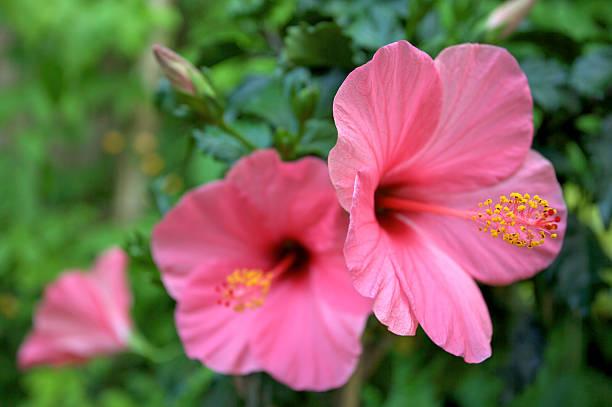 Growing Hibiscus, Hibiscus, Flower Garden, Flower Garden Ideas, Garden Ideas, Gardening Ideas, Gardening for Beginners