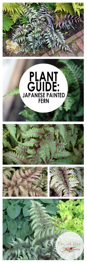 Plant Guide: Japanese Painted Fern - Bees and Roses| Japapense Painted Fern, Gardening, Gardening Hacks, Gardening TIps and Tricks, Growing Painted Fern, How to Grow Painted Fern, Plant Guide #JapanesePaintedFern #Gardening