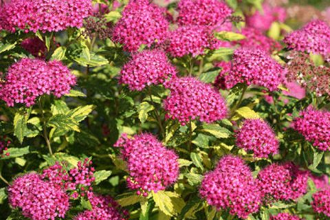 Plant Guide: Spirea| Spirea, Growing Spirea, How to Grow Spirea, GArdening, Gardening Tips, Gardening TIps and Tricks, Growing Spirea, Easily Grow Spirea, Garden, Garden 101, Popular Pin #Spirea #Gardening #GrowingSpirea #PlantGardening