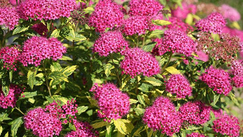 Growing Spirea, Spirea, Spirea Shrub, Spirea Landscaping, Gardening, Flower Garden, Flower Gardening, Garden Ideas, Gardening Ideas