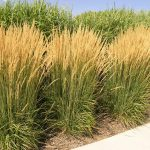 How to Divide Ornamental Grasses| Divide Ornamental Grasses, How to Grasses, Dividing Perennials, How to Divide Perennials, Dividing Perennials, Divide Your Perennial Grasses, Ornamental Grasses, Caring for Ornamental Grasses, Perennial Care, DIY Perennials, Gardening, Gardening Care, DIY Garden Care, Popular Pin #GardeningCare #DIYPerennials #OrnamentalGrasses #DividingOrnamentalGrasses