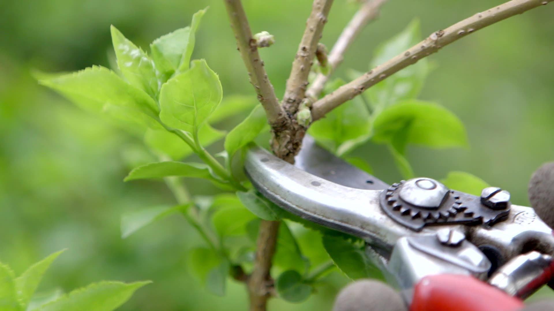How to Prune Flowering Shrubs - Bees and Roses| Prune Shrubs, How to Prune Shrubs, Easily Prune Shrubs, Gardening, Gardening TIps and Tricks, Gardening Hacks, Flowering Shrub Care, Popular Pin #Shrubs #PruneShrubs