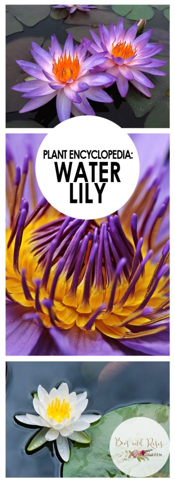 Plant Guide: Water Lily - Bees and Roses| Water Lily , Growing Water Lily, How to Grow Water Lily, Gardening, Gardening Hacks, Gardening, Gardening 101, Water Lily Care, Popular Pin #Gardening #WaterLily