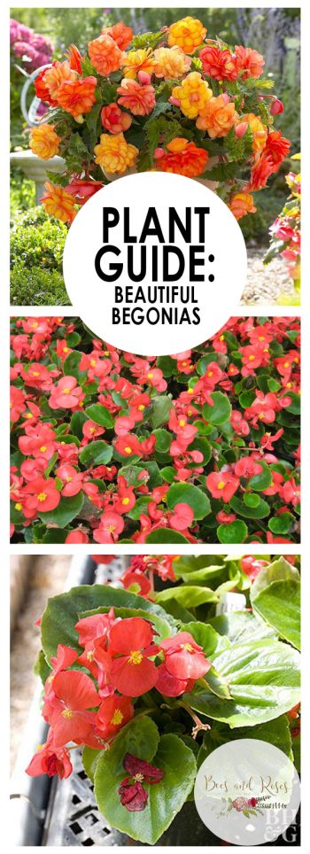 Growing Begonias, Begonias, Flower Garden, Flower Garden Ideas, Gardening, Gardening Ideas, Begonias Care, Gardening Tips, Gardening for Beginners