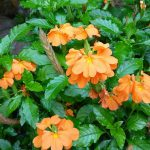 Crossandra, Growing Crossandra, Flower Garden, Flower Gardening Ideas, Flower Gardening for Beginners, Garden Ideas, Gardening, Gardening Tips