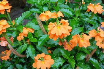 Crossandra, Growing Crossandra, Flower Garden, Flower Gardening Ideas, Flower Gardening for Beginners, Garden Ideas, Gardening, Gardening Tips