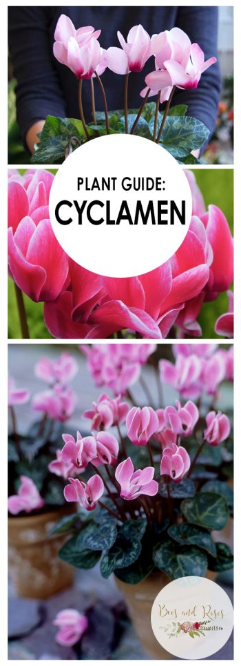 Plant Guide: Cyclamen - Bees and Roses| Growing Cyclamen, Cyclamen, Gardening, Garden Ideas Indoor, Indoor Gardening Ideas, Gardening For Beginners, Flower Garden, Container Garden, Indoor Plants, Indoor Garden, Indoor Flowers, Popular Pin