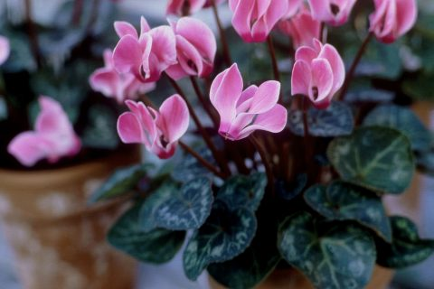 Plant Guide: Cyclamen - Bees and Roses| Gardening, Garden Ideas Indoor, Indoor Gardening Ideas, Gardening For Beginners, Flower Garden, Container Garden, Indoor Plants, Indoor Garden, Indoor Flowers, Popular Pin #Gardening #GardeningforBeginners, #IndoorPLants #IndoorGarden