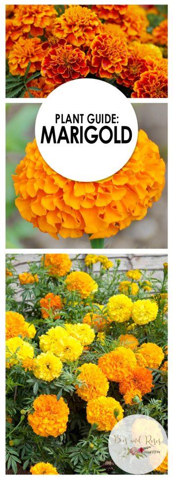 Growing Marigold, Marigold, Gardening, Gardening TIps, Gardening Hacks, Gardening Tricks, Flower Garden, Flower Gardening