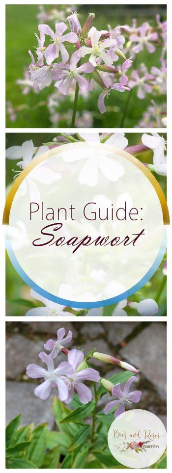 Plant Guide: Soapwort - Bees and Roses| Soapwort, Growing Soapwort, How to Grow Soapwort, Plant, Plant Care, Easy Plant Care, Gardening Hacks, Garden #Gardening #Soapwort #PlantCare