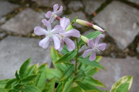 Plant Guide: Soapwort - Bees and Roses| Soapwort, Growing Soapwort, How to Grow Soapwort, Plant, Plant Care, Easy Plant Care, Gardening Hacks, Garden #Gardening #Soapwort #PlantCare