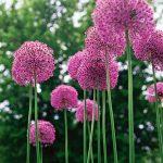 Growing Allium, Allium, Allium Flowers, Allium Garden, Allium Flowers How to Grow