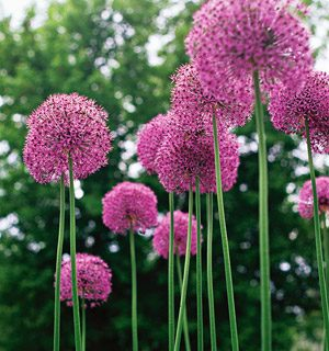 Plant of The Year: Allium| Garden Ideas, Gardening, Garden, Gardening for Beginners, Gardening Ideas, Gardening Tips #GardenIDeas #GardeningIdeas #GardeningforBeginners