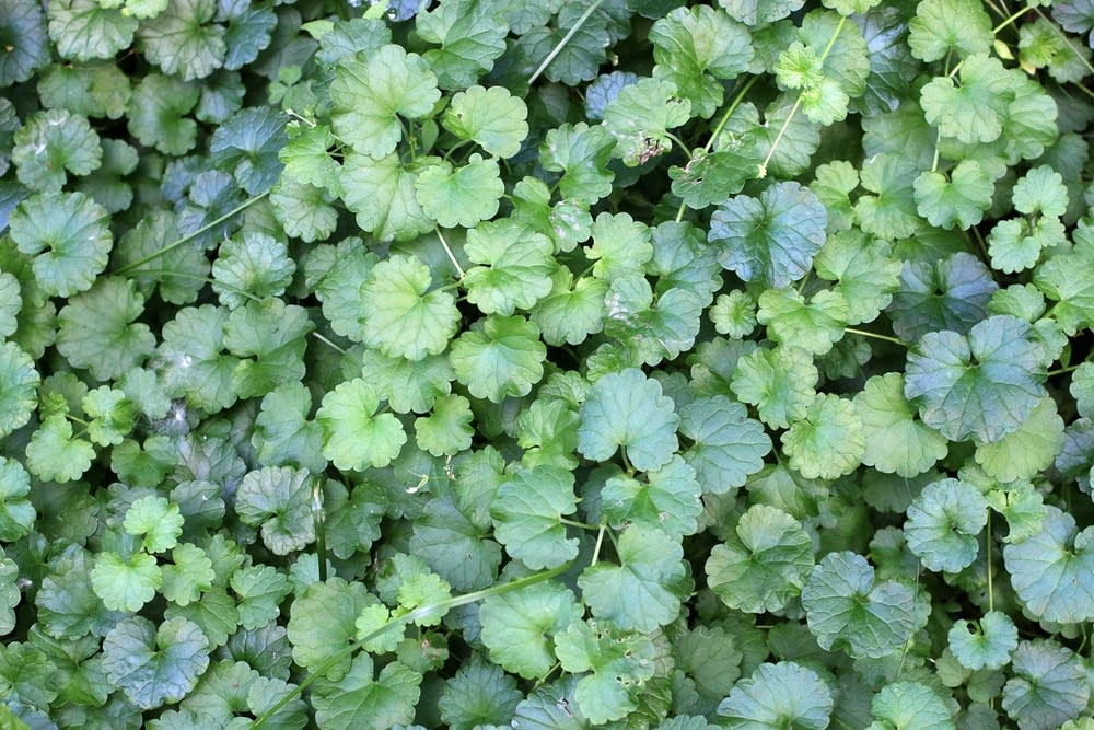 Finally Get Rid of Creeping Charlie - Bees and Roses| Creeping Charlie, Get Rid of Creeping Charlie, Gardening TIps, Gardening, Weed Control, Control Weeds, Creeping Charlie How to Get Rid Of, Creeping Charlie Houseplant, Get Rid of Weeds