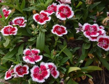 Plant Guide: Dianthus - Bees and Roses| Growing Dianthus, Dianthus, Garden Ideas, Gardening, Garden, Gardening for Beginners, Gardening Ideas, Gardening TIps