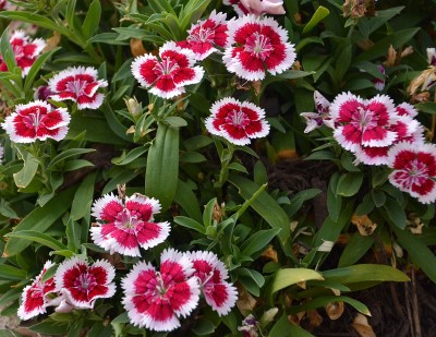 Plant Guide: Dianthus - Bees and Roses| Garden Ideas, Gardening, Garden, Gardening for Beginners, Gardening Ideas, Gardening TIps #GardenIdeas #GardeningIdeas #GardeningforBeginners