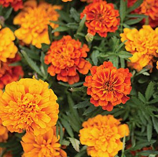 Plant Guide: Marigold| Marigold, Marigold Care, Caring for Marigold, How to Grow Marigold, Growing Marigold, Easily Grow Marigold, Gardening, Gardening TIps and Tricks, Garden, #Marigold #PlantGuide #Marigold