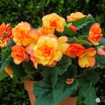 Growing Begonias, Begonias, Flower Garden, Flower Garden Ideas, Gardening, Gardening Ideas, Begonias Care, Gardening Tips, Gardening for Beginners