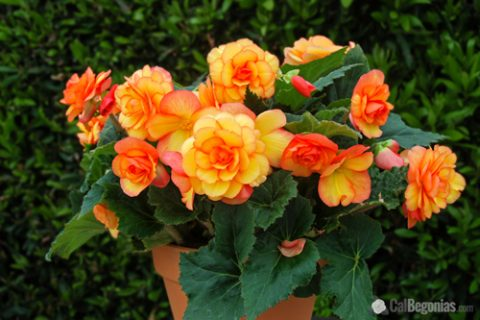 Plant Guide: Beautiful Begonias| Gardening, Gardening Tips and Tricks, Begonias, Growing Begonias, How to Grow Begonias, Easily Grow Begonias, Landscaping, Landscaping TIps and Tricks, Popular Pin #Begonias #Landscaping #Gardening