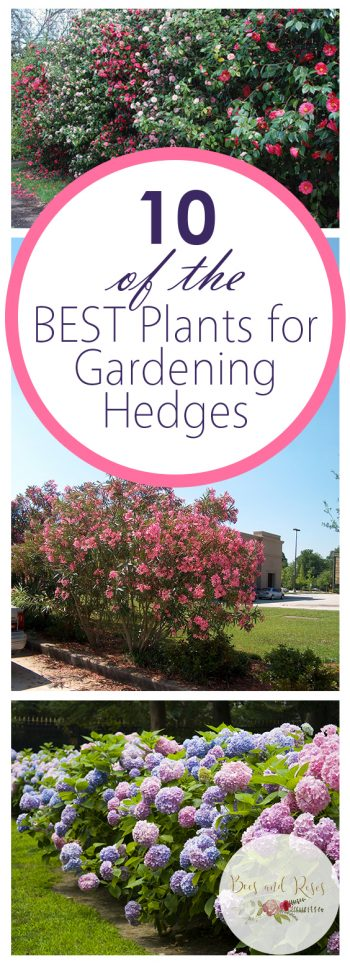 10 of the BEST Plants for Gardening Hedges - Bees and Roses| Backyard Gardening, Garden Ideas DIY, Landscaping for Beginners, Front Garden Ideas, Backyard Ideas, Landscaping, Landscaping Ideas, Gardening Ideas, Backyard Garden Ideas #BackyardGardening #GardenIdeasDIY #LandscapingforBeginners