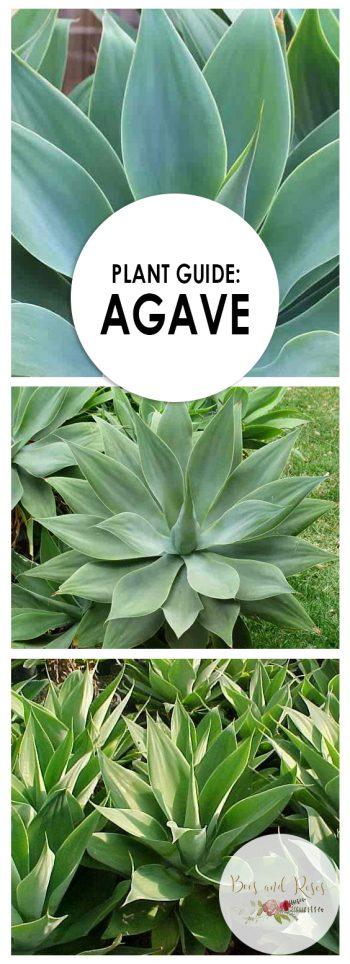 Plant Guide: Agave - Bees and Roses Garden Ideas: Agave Plant, Agave, Agave Landscaping, Agave Care Plants, Gardening, Gardening Ideas, Gardening for Beginners, Garden Ideas