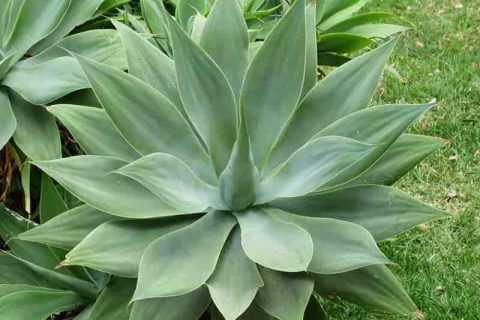 Plant Guide: Agave - Bees and Roses Garden Ideas: Agave Plant, Agave, Agave Landscaping, Agave Care Plants, Gardening, Gardening Ideas, Gardening for Beginners, Garden Ideas