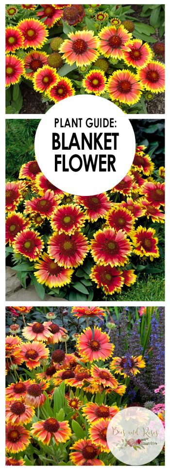 Plant Guide: Blanket Flower| Growing Blanket Flower, Blanket Flower, Garden Ideas: Gardening for Beginners, Garden Ideas Flower, Flower Garden Ideas, Flower Gardening, Flower Gardening for Beginners, Gardening Ideas