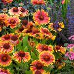 Plant Guide: Blanket Flower| Growing Blanket Flower, Blanket Flower, Garden Ideas: Gardening for Beginners, Garden Ideas Flower, Flower Garden Ideas, Flower Gardening, Flower Gardening for Beginners, Gardening Ideas