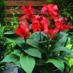 Plant Guide: Canna - Bees and Roses| Flower Garden Ideas, Flower Gardening Ideas, Flower Garden, Backyard Garden Ideas, Flower and Garden Ideas, Gardening, Gardening Ideas